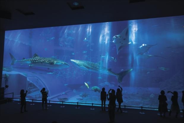 体長8.7mのジンベエザメや世界最大級のエイと言われるナンヨウマンタ、マグロやサメといった黒潮の魚たち。