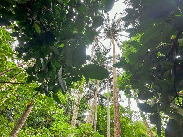 八重山諸島固有の八重山椰子は見上げるほどの高木。群落の中は歩きやすいように整備されているので安心。