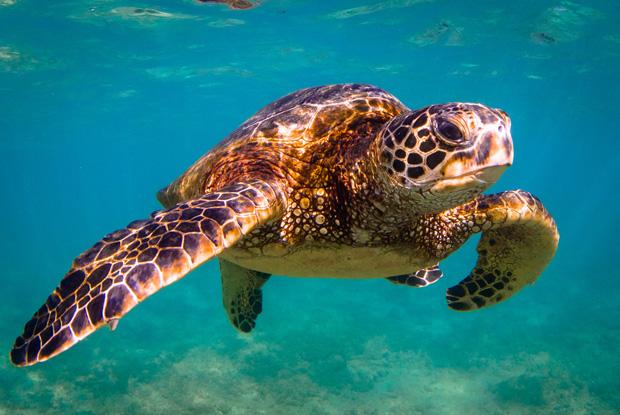 ハワイオアフ島のウミガメ