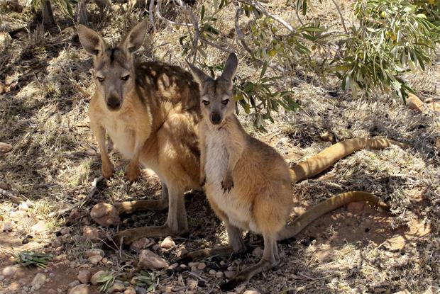 2頭のカンガルー