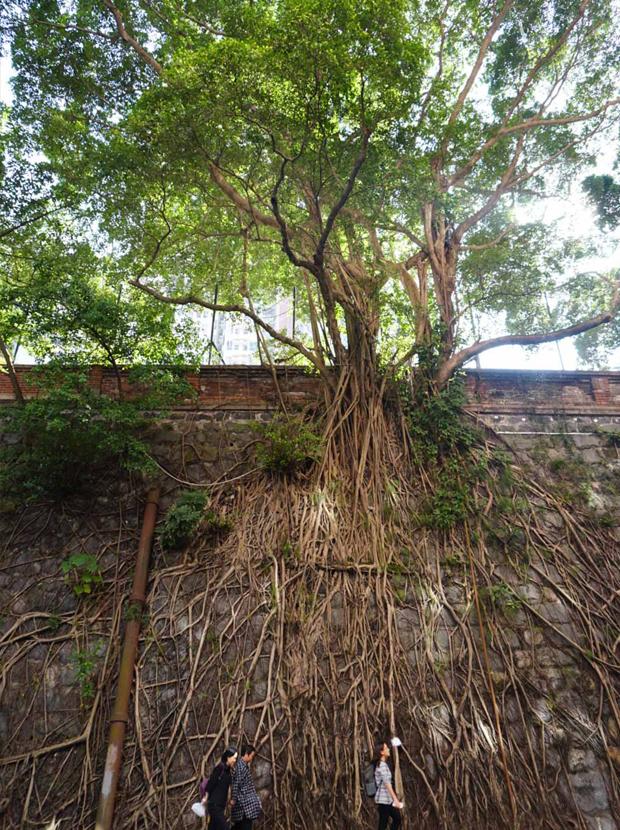 木の根が張った不思議な塀