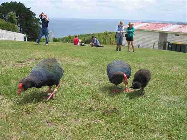 ティリティリマタンギ島の貴重な鳥たち