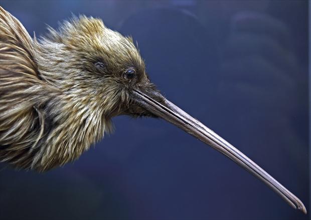ニュージーランドの国鳥「キーウィ」