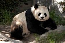 毎日パンダが見られる貴重な動物園