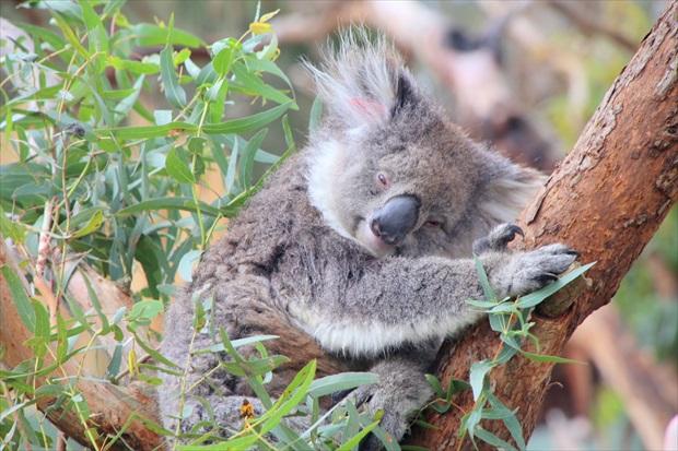 オーストラリアといえばやっぱり見たい!コアラとカンガルー(写真提供:浅井みらのさん)