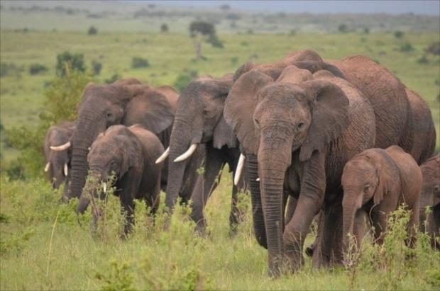 群れで暮らすゾウは迫力満点