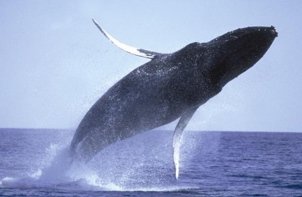 ザトウクジラの群れは、冬のハワイの風物詩。海上でのホエールウォッチングは冷え込む場合もあり、防寒具の準備を