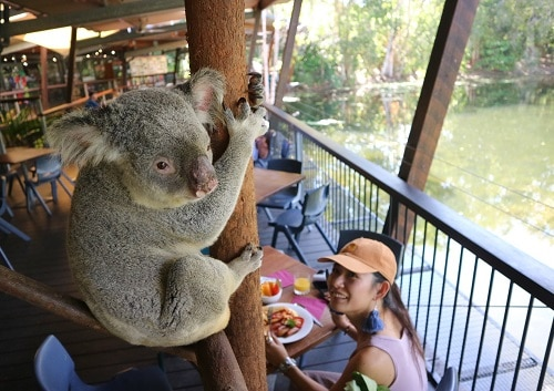 コアラを間近に見ながら過ごす、のんびりなひととき