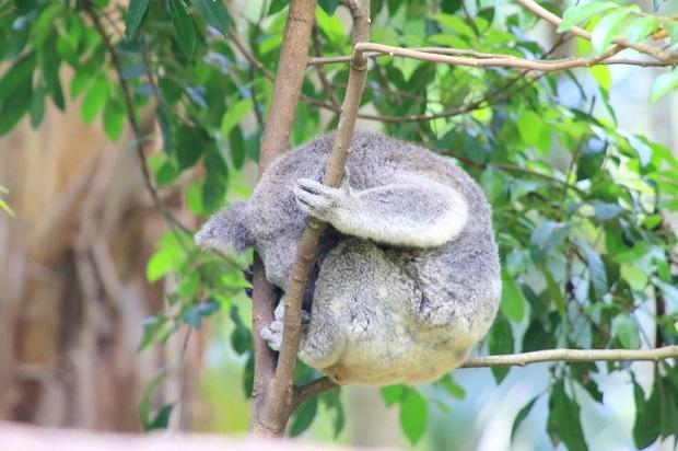 器用に樹上で丸くなって昼寝をするコアラ(写真提供:浅井みらのさん)