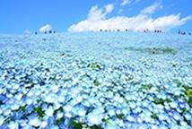 ひたち海浜公園_ネモフィラの丘