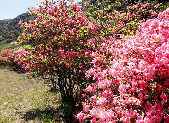 伊豆大島の春を彩る 鮮やかなオオシマツツジ(イメージ)