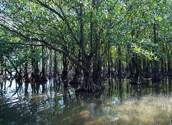 西表島のマングローブ林(イメージ)