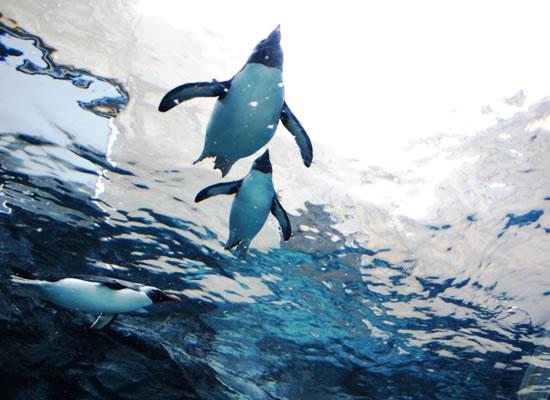 旭川 旭山動物園/ペンギン(イメージ)