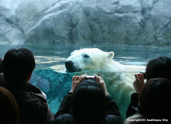 旭川動物園のシロクマ(イメージ)