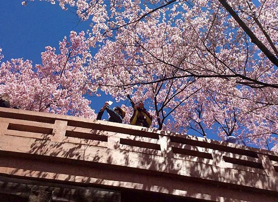 高遠城址公園_桜(イメージ)