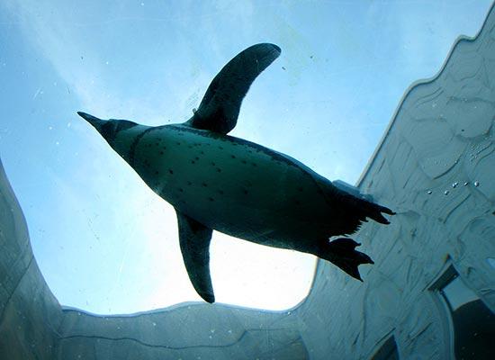 旭山動物園‗ペンギン(イメージ)