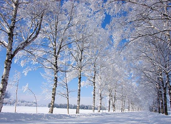 白樺並木(イメージ)