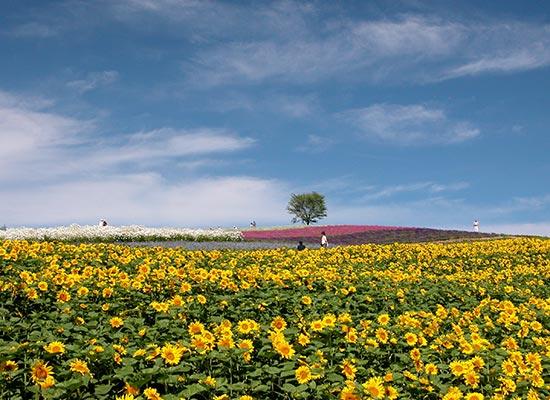 富良野ひまわり畑 イメージ