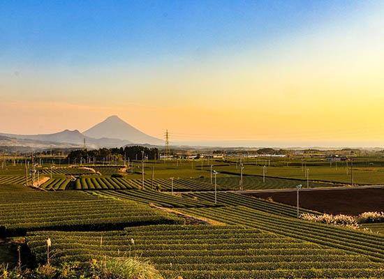 [鹿児島]九州最南端・知覧茶の茶畑と開聞岳(イメージ)